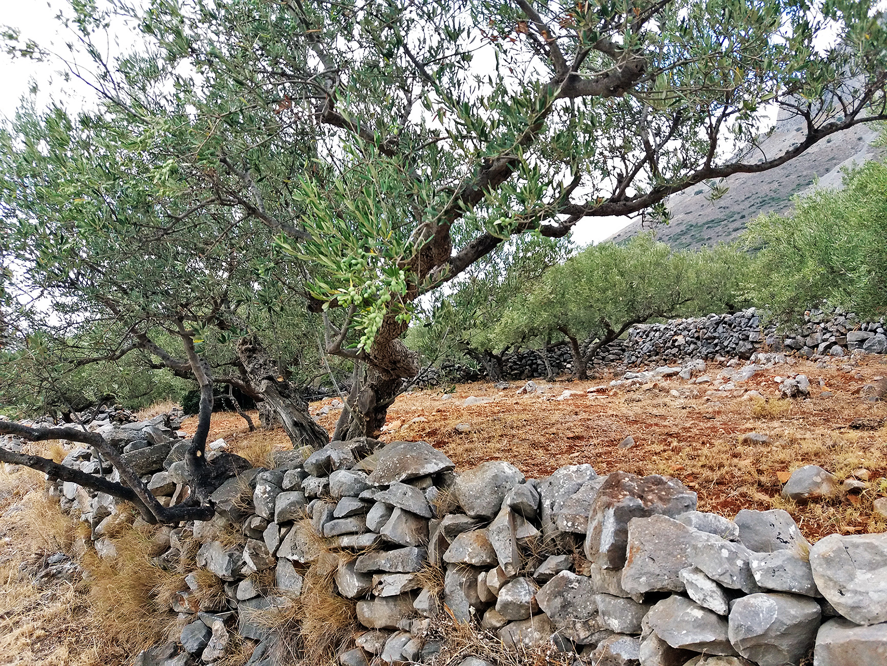 An olive grove with dry stone walls in Sotirianika, Mani